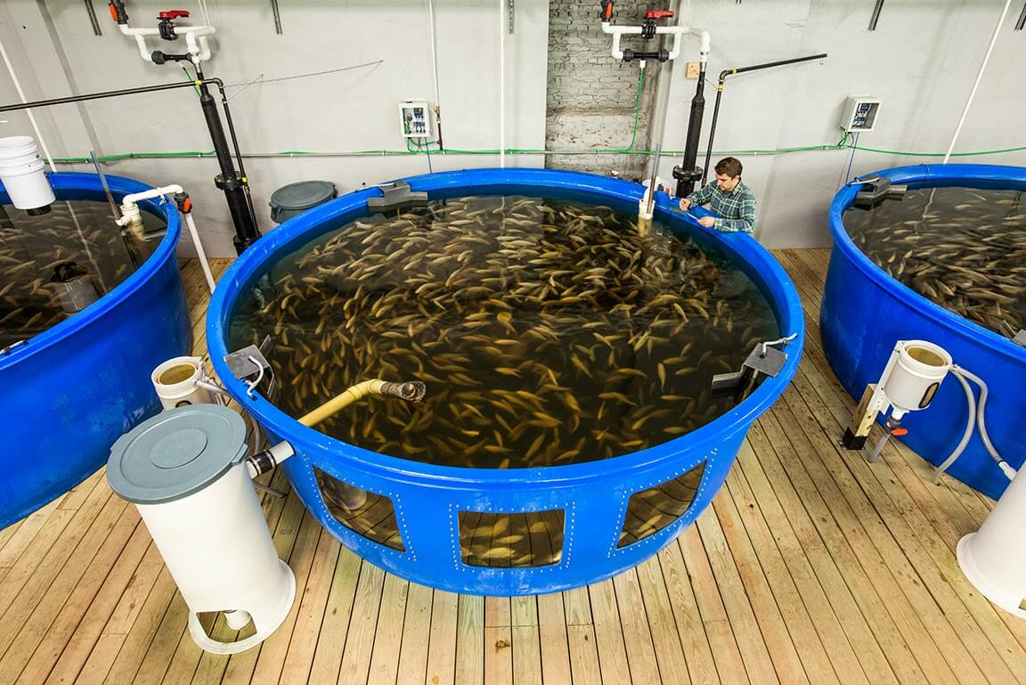 C mo iniciar un negocio de crianza o cultivo de peces for Como hacer un criadero de carpas