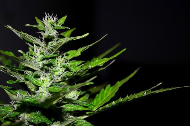 Franquicia Cannabis Store Amsterdam